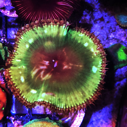 Green Palythoa Grandis