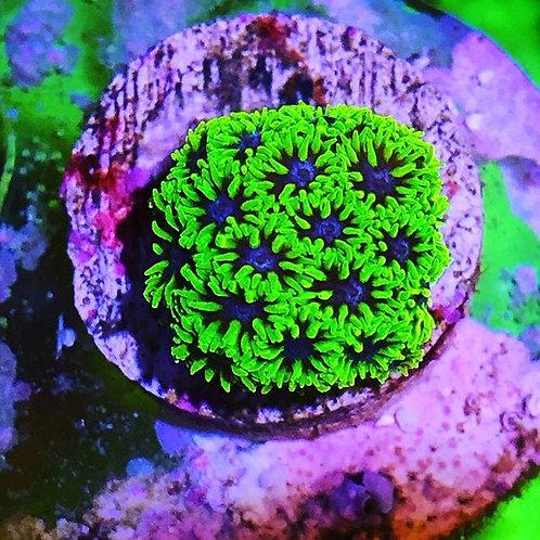 Blueberry Fields Leptastrea