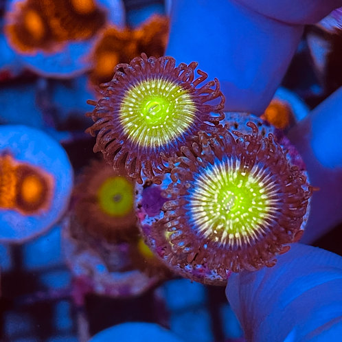 Lemon Drops Zoanthids