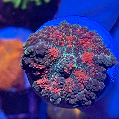 Bleeding Rodhactis Mushroom