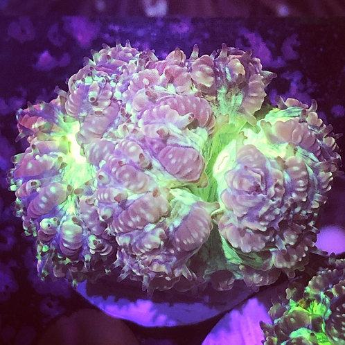 Purple and Green Blastomussa