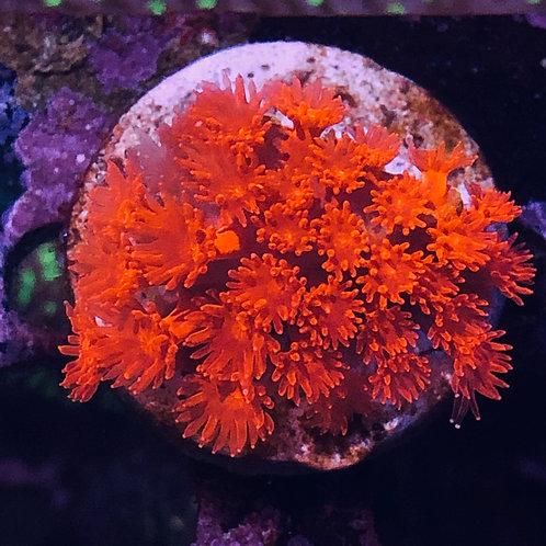 "Red Short Polyps Goniopora - 1"""