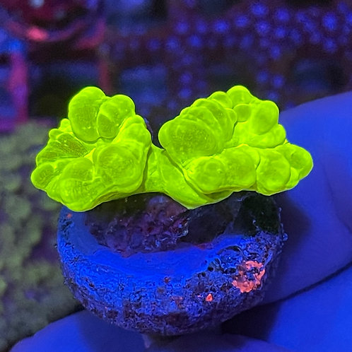 Kryptonite Candy Cane Coral