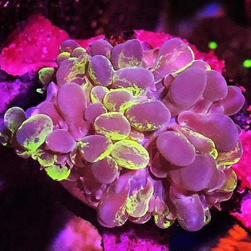 Bicolor Bubblle Coral - Pearl