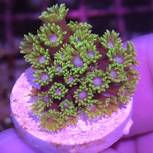 Green with Blue Center Micro Goniopora