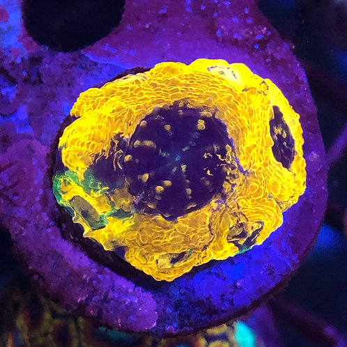 Orange Crush Acan Echinata - WYSIWYG
