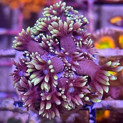 Purple with Neon Tips Goniopora
