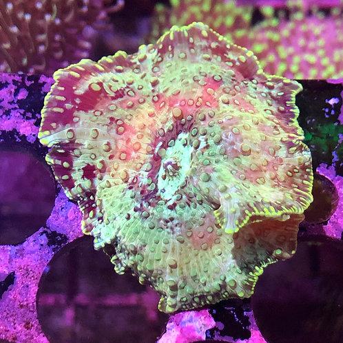 Tanked Raised Green Mushroom