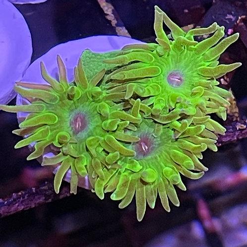 Tubinaria, Green Cup Coral