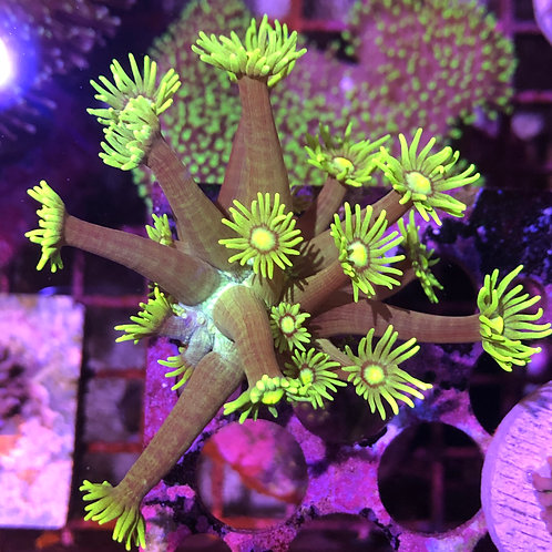 Tank Raised Long Polyps Green Goniopora