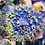 Thumbnail: St. Thomas Mushroom