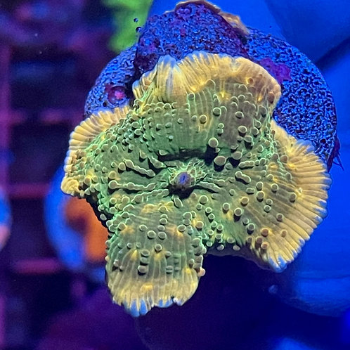 Leprechaun Mushroom