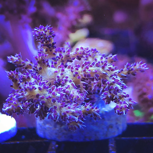 "Purple and Yellow Stereonepthya 1/2"" frag"