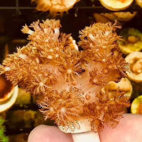 Shaggy Cespitularia