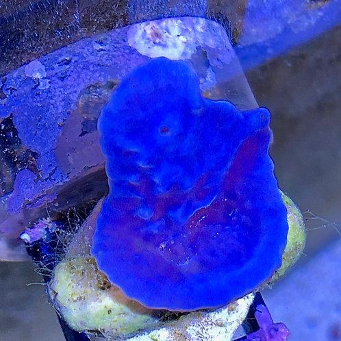 Blue Sponge (Colospongia Auris)