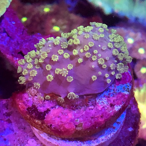 Violet with Green Polyps Sinularia spp