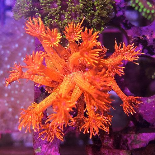 "Red  Long Polyps Goniopora - 1"""