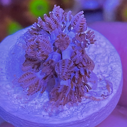 Red Sea Pulsing Xenia
