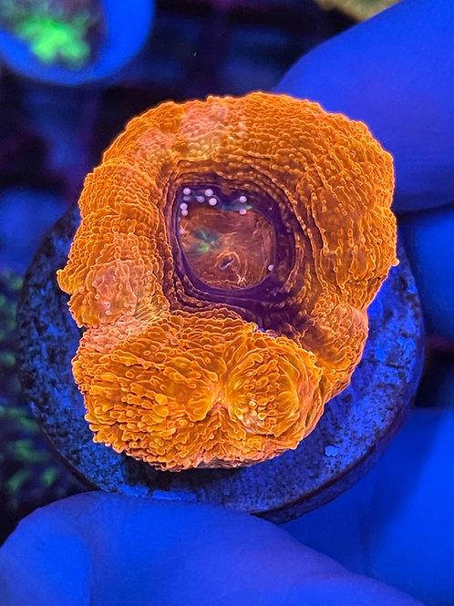 Australian Bowerbanki Coral - WYSIWYG