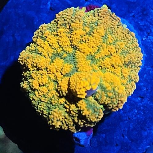 Citrus Rodhactis Mushroom