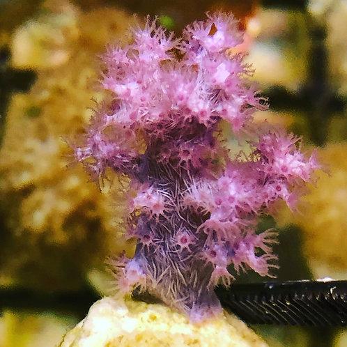 """Pink Japanese Nepthea 3/4"""" Frag"""