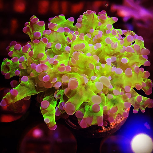 Purple and Green Branching Frogspawn