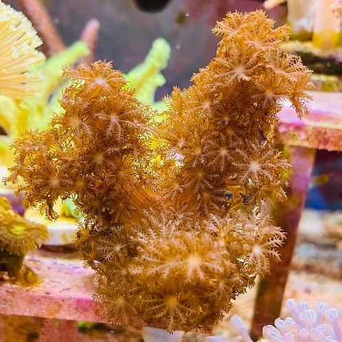 Cladiella sp.(AKA Colt Coral)