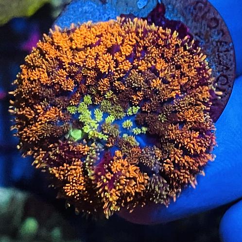 Gumdrop Rhodactis Mushroom
