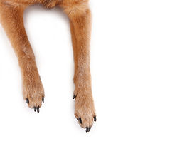 overhead view of chihuahua mix legs and