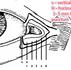 Anatomy of ท่อน้ำตา (Lower Canaliculi) กับการทำเปิดหัวตา Epicanthoplasty
