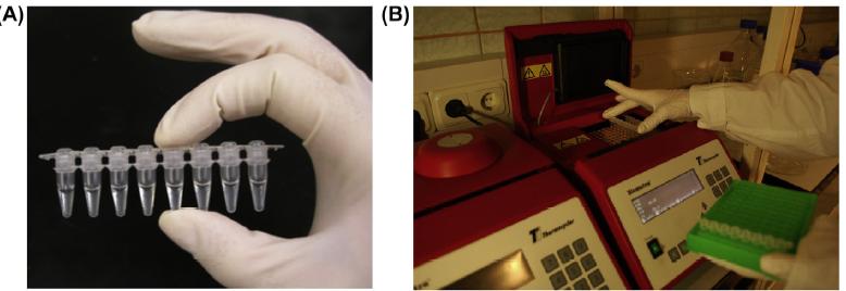 Themocycler , A  8 PCR tubes มี 100microLit  reaction mixture ,  B ใส่tube เข้าไปใน block of themocycler