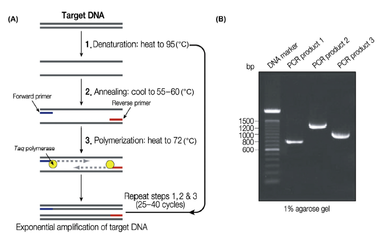 A - เป็น step one cycle of PCR  เริ่ม Denaturation -> Annealing -> polymerization ,  การทำ PCR reaction 25-40 cycles  , B Agarose gel electrophoresis แสดง result PCR