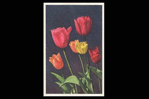 Karte 3240 Tulpen