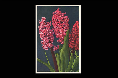 Karte 1133 Hyacinth