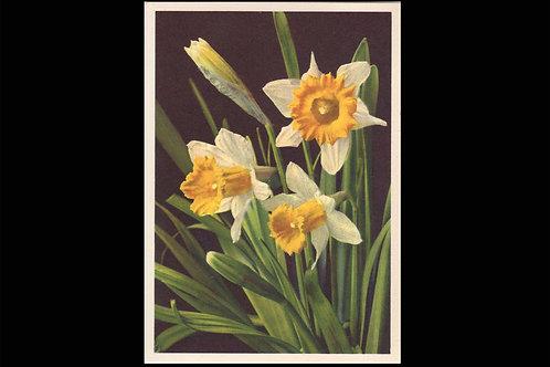 Karte 1660 Gelbe Narcisse