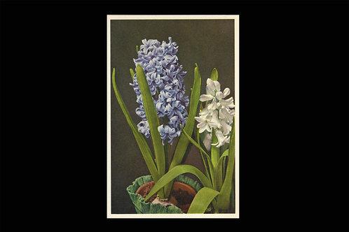 Karte 414 Hyacinthe