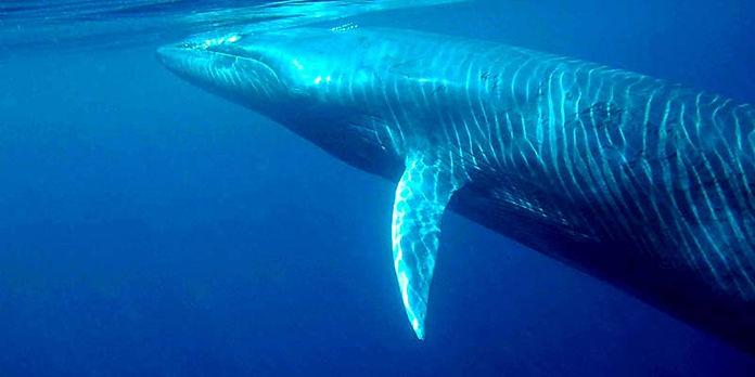 Brydes-whale