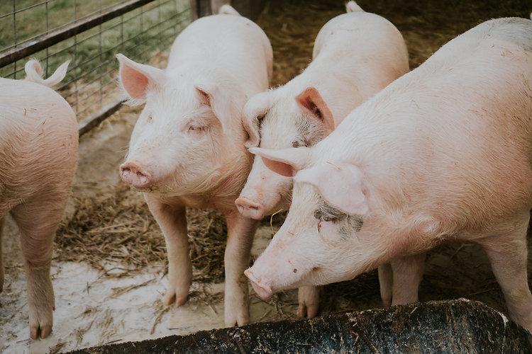 selective-closeup-shot-pink-pigs-barn.jp