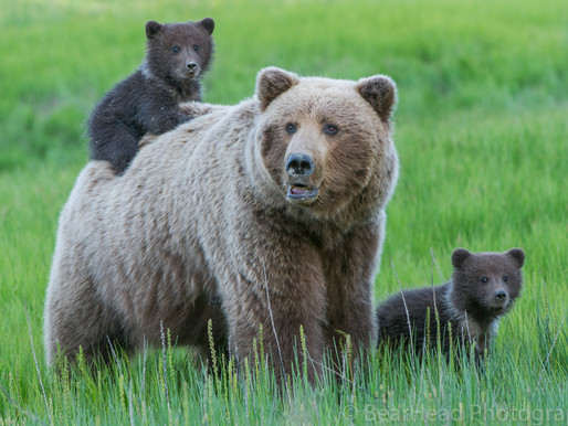 The Conservation of Alaskan Brown Bears