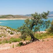 Un olivier au bord du lac