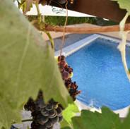 Du raisin, en saison