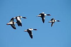 Voir les oiseaux en baie de somme avec un guide
