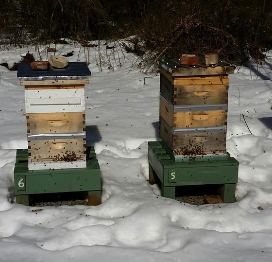 What do honeybees do in the winter?
