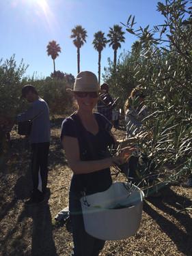 Picking Olives for Olive Oil