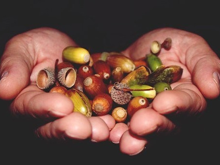 How many acorns are you planting?
