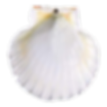 White scallop tspnt.png