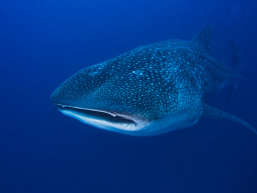 Diving with Whale Sharks - Everything You Should Know!