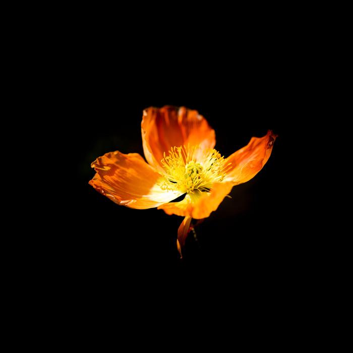Flower Poppy Orange 20191027.jpg