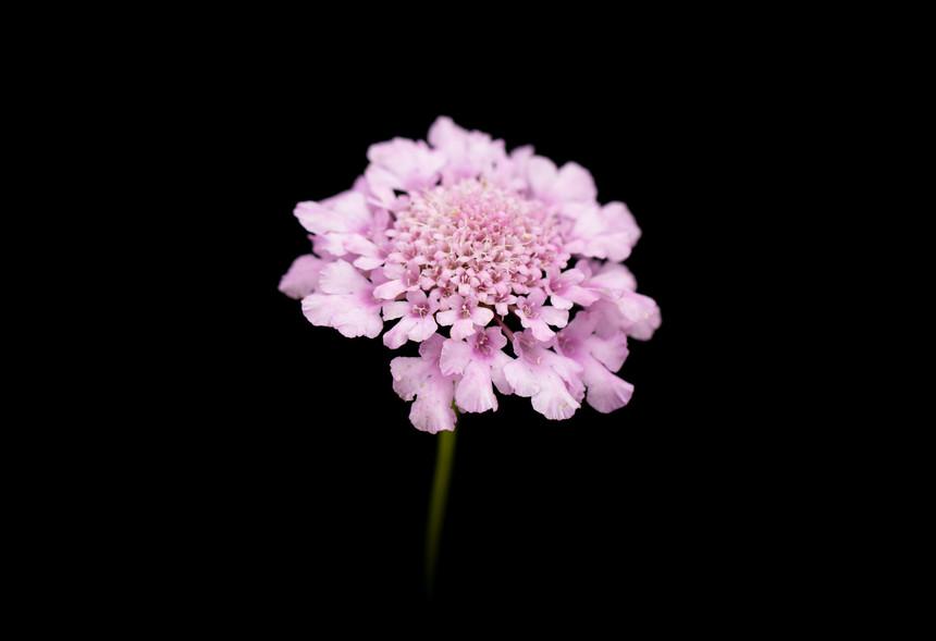 Scabiosa anthemifolia