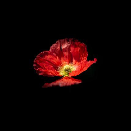 Icelandic Poppy Red